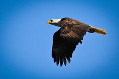 Fly over (EXPLORED thank you ) (rakkasan69) Tags: food bird canon for looking eagle flight wing beak bald tony 7d babcock talons