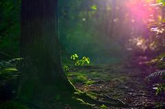 Mystical Forest (DigitalCanvas72) Tags: forest lens 50mm moss nikon dof flare mystical shallow 18g d5100 50mm18g