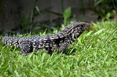 Lagarto Overo. (jagar41_ Juan Antonio) Tags: argentina nikon lagarto reptil lagartoovero d5100 nikond5100