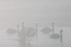 Wake up routine (KennethVerburg.nl) Tags: winter mist lake netherlands dutch fog landscape swan meer sneeuw nederland flevoland 2012 landschap almere zwaan almerehaven overgooi