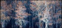 The many moods of Lac Caddo: Eerie (nyc dreamer) Tags: texas eerie bayou swamp cypresstrees caddolake explore358 nikond800 themanymoodsoflaccaddoeerie