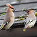 Waxwings Notts WT cpt Margaret Holland