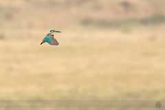 Small Blue hovering... (itsrbtime) Tags: blue india nature birds nikon action wildlife bangalore flight sigma kingfisher midair hovering hover d90 smallblue greatnature smallbluekingfisher 120400 nikond90 sigma120400 sigma120400oshsm rijubhattacharya itsrbtime 120400oshsm 120400f4556oshsm