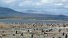 Penguin Colony, Isla Martillo, Argentina