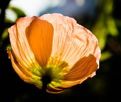 _DSC0394-2-2 (bundy drive 99) Tags: flowers orange garden central taken poppies getty backlit icelandpoppy gettygarden maryannjackson