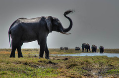 """Elephant in Chobe National Park, Botswana • <a style=""""font-size:0.8em;"""" href=""""https://www.flickr.com/photos/21540187@N07/8293303491/"""" target=""""_blank"""">View on Flickr</a>"""