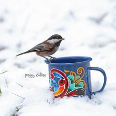12/21/12 (Peggy Collins) Tags: winter snow canada coffee interestingness costarica britishcolumbia apocalypse explore chickadee pacificnorthwest sunshinecoast snowbird endoftheworld chestnutbackedchickadee birdinsnow 122112 birdinwinter peggycollins