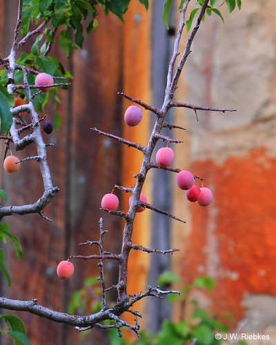 Photo - Wild Plums at the Dunn House