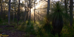 Merry Christmas (southern_skies2) Tags: trees light fog australia sunstar grasstrees darlingdowns crowsnests greenqueensland