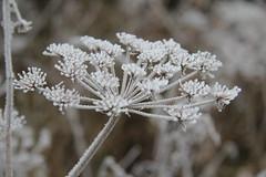 Frosty...Happy Blurry Wednesday. (stepheneverettuk) Tags: uk england plant canon bokeh hoarfrost frosty wiltshire warminster hbw steveeverett happyblurrywednesday