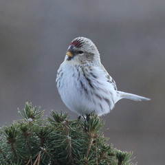 redpoll-IMG_9381-crop (mandovinnie) Tags: