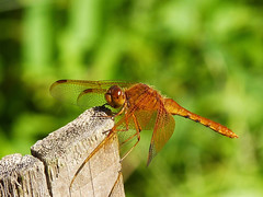 (E-PM1) Tags: nature japan insect dragonfly bugs