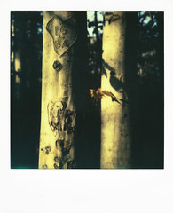 Carving Tree (Caleb Jenkins) Tags: old trees tree classic film vintage project polaroid sx70 december shadows traditional border grain colorphotography nostalgia trail frame instant notdigital impossible filmgrain landcamera instantphotography polaroidsx70 filmphotography colorfilm instantfilm polaroidphotography deepshadows polaroidframe polaroidsx70landcamera colorshade polaroidborder carvingtree colorinstantfilm colorfilmphotography instantfilmphotography impossibleproject impossiblefilm impossibleprojectfilm impossibleprojectpx70