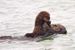 Sea Otter, Enhydra Lutris, mom and pup, Morro Bay Ca (Donald Quintana) Tags: ocean life california family sea wild portrait food brown white lake black detail cute eye nature wet water face animal alaska fauna swimming swim fur mammal nose bay back furry hands marine funny couple european feeding eating wildlife small adorable eat american otter species hunter morrobay endangered aquatic pup float sanluisobispo carnivore enhydra lutris photoofthedaynwf12