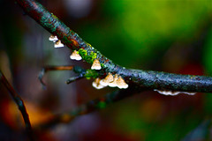 (The Noisy Plume) Tags: green nature mushroom wet northerncalifornia forest flora fungi fungus lichen