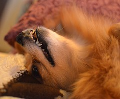 Punkin upside down (Erik Daniel Drost) Tags: dog pet pomeranian punkin