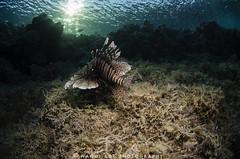 Common Lionfish (Naomi Roe) Tags: morning sun fish swim redsea egypt reef lionfish marsaalam marsashagra commonlionfish