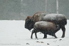 DSC_7356 (Maxime Riendeau) Tags: winter snow canada quebec hiver qubec neige bison parcomega americanbison omegapark parcomga bisondamriquedunord parcomegahiver201213