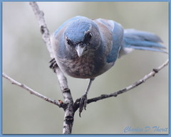Western Scrub Jay (ctofcsco) Tags: usa canon colorado unitedstates explore coloradosprings 400mm 50d allofnatureswildlifelevel1 allofnatureswildlifelevel2 rememberthatmomentlevel1 rememberthatmomentlevel2 rememberthatmomentlevel3