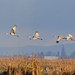Sandhill Cranes on the move