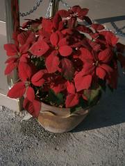 Euphorbia pulcherrima Willd. ex Klotzsch Euphorbiaceae Poinsettia: Poinsettia, คริสต์มาส (SierraSunrise) Tags: flowers red plants thailand euphorbiaceae chonburi rosidae euphorbiales ornamentals