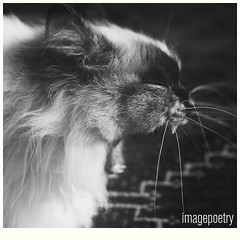002 (imagepoetry) Tags: blackandwhite pet animal cat 50mm tired a65 imagepoetry sonyalpha