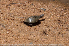 """Baby Turtle • <a style=""""font-size:0.8em;"""" href=""""http://www.flickr.com/photos/56545707@N05/8365433128/"""" target=""""_blank"""">View on Flickr</a>"""