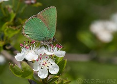 Green Hairstreak (Callophrys rubi) (M.D.Parr) Tags: uk england english nature butterfly insect britain beds bedfordshire butterflies insects lepidoptera british greenhairstreak callophrysrubi martindparr mdparr bisonshill