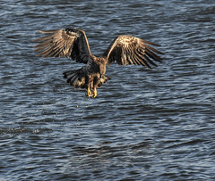 Lock 14 Eagles 27 (Jan Crites) Tags: winter cold bird river fishing eagle flight baldeagle iowa raptor mississippiriver soaring leclaire lockanddam14