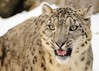 Snow Leopard (poolshock) Tags: 70300 d5000 allofnatureswildlifelevel1 allofnatureswildlifelevel2