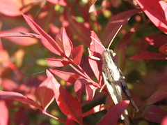 Bug  020 (azmichelle) Tags: bug insect locust burningbush 2013365