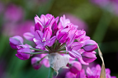 Mid Summer (nemi1968) Tags: flowers flower green june canon petals purple petal botanicalgarden botaniskhage macro100mm ef100mmf28lmacroisusm