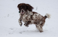 Harvey - Lets go! (TenPinPhil) Tags: dog snow harvey spaniel springer springerspaniel 2013 philipharris tenpinphil