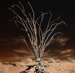 Ocotillo In Infrared (Bill Gracey) Tags: california cactus nature clouds desert highcontrast infrared desierto ocotillo anzaborregodesertstatepark borregobadlands fontspoint