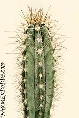 Ritterocereus histrix 8 km west Cajobabo (farmer dodds) Tags: cactus cactaceae mescaline stenocereus ritterocereus cajobabo stenocereushistrix ritterocereushistrix