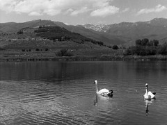 Swan Lake (Avintiquin) Tags: olympus fzuiko pen ft film analogue bw black white kodak tmax pull rodinal 175 38mm f18
