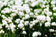 Kitzsteinhorn (Tuomo Lindfors) Tags: itvalta austria sterreich topazlabs dxo filmpack clarity kaprun kitzsteinhorn suovilla cottongrass