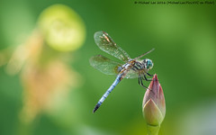 Male Blue Dasher (P7160993) (Michael.Lee.Pics.NYC) Tags: newyork flower male pool insect wings lily lotus blossom dragonfly bokeh olympus conservatory perch nybg mkii markii newyorkbotanicalgarden bluedasher em5 lumix100300mm