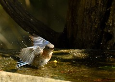 Bluebird cooling off on a hot day! (Katherine Chawner Davis) Tags: bluebird bird birdbath water hot nature wildlife