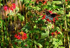Butterfly on beebalm flower in our backyard      1-DSC_0129 (LarryJ47) Tags: nikond40 nikon70300mm butterfly echinacea garden flower zoom lens