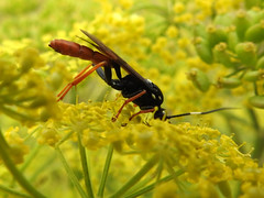 Ichneumon Wasp 04 (Magic Moments by Pippa) Tags: british wildlife nature insects macro closeup nikon p900 ichneumon fly wasp