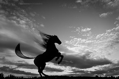 Silhouette 014 - Rearing Horse, Black & White (IP Maesstro) Tags: rearing horse silhouette rearinghorse animal blackandwhite nature freedom life sky clouds hdr ipmaesstro