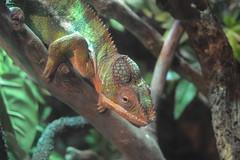 Chameleon (PollyPhotografy) Tags: chameleon sweety nature fauna animal ngc