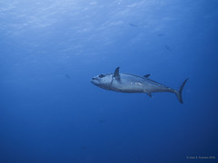 Bonito - Isla Daharat Abid  (Sudan - Red Sea) (JuanAnd-erwater) Tags: seleccionar