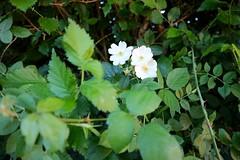 Tres flores (Oubeos) Tags: tres flores blancas parque verde airelibre flor planta