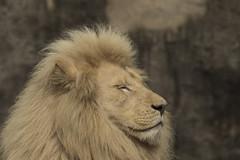 Witte Leeuw - Ouwehands (Jan de Neijs Photography) Tags: leeuw lion ouwehands ouwehandsdierenpark dierentuin zoo rhenen tamron tamron150600