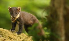 Pine Marten  (Martes martes). (Sandra Standbridge.) Tags: pinemarten martesmartes scotland moss tree wildandfree outdoor mammal secretive animal