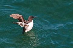 IMG_0773 (LezFoto) Tags: guillemot uriaaalge splashing water sea bird wings black white brown blue aqua rspb rspbfowlsheugh northsea aberdeenshire scotland canon eos 700d sigma auks alcidae
