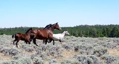 Sage parade (prairiegirrl) Tags: mustangs wildhorses greenmountainhma wyoming wildlife