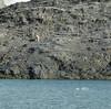 polar bear 1 (Dwen 55) Tags: orso bear polar polare orsopolare polarbear orsobianco bianco mare sea roccia rock tz10 dmctz10 lumix panasonic svalbard norway norvegia 78° billefjorden pyramiden henningsentransportguiding
